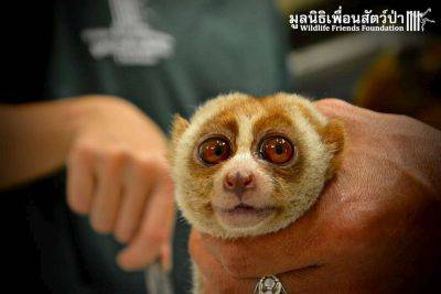 "This little slow Boris nearly lost everything Ñ just so he could be someone's living plaything. Earlier this week, Wildlife Friends Foundation Thailand (WFFT) received a call about a slow loris who was surrendered to a rescue group after a passerby ""found"" him on a beach Ñ but, like many of WFFT's rescues, the story didn't quite add up. When the WFFT veterinary team finally examined the animal, who was later named Boris, it discovered the small primate was covered in ticks, and his wrist had been broken at some point. But perhaps most cruelly, his teeth had been painfully clipped out Ñ a common fate for captive slow lorises. Because of their big eyes and cuddly appearance, slow lorises are highly sought after as exotic pets and tourist attractions, both in Thailand and internationally. But slow lorises happen to be the world's only venomous primate, and can use their sharp teeth to inflict a nasty bite. (PICTURE BY©Wildlife Friends Foundation Thailand) PHOTOGRAPH PROVIDED BY IBERPRESS +39-3428017058 http://www.iber-press.com/ nimarafat@me.com"