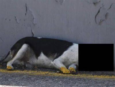 cane morto