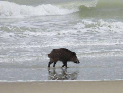 cinghiale al mare
