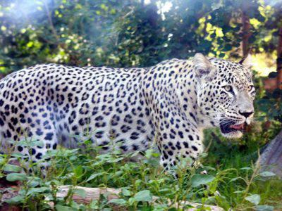 leopardo persiano2
