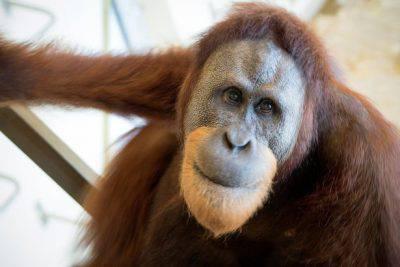 orangotango rocky