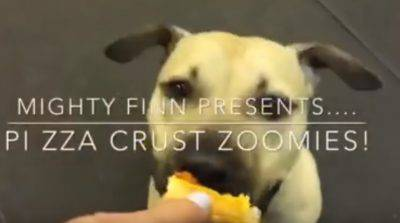 pizza cane pitbull finn