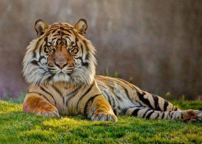 tigre jai