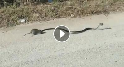 topolino serpente