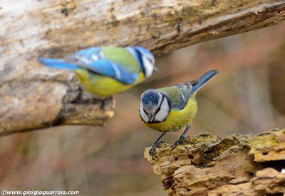 Cinciarella - FOTO @giorgioguerraia.com