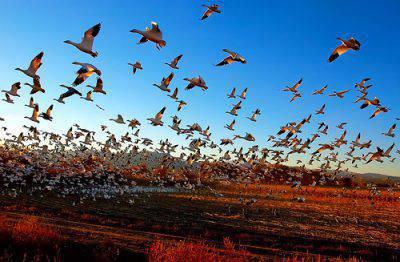 migrazione uccelli