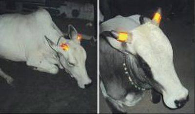 mucche india
