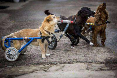 cani-paraplegici