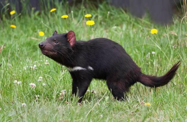 Diavolo della tasmania in soli anni sviluppata