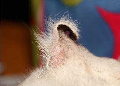 gatto orecchio curl