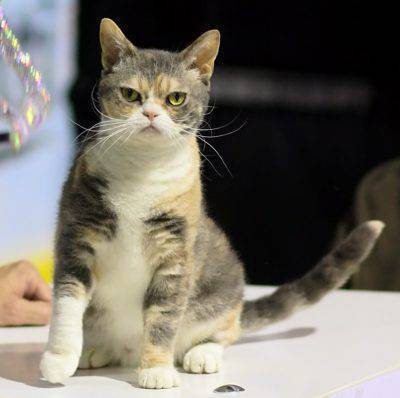 american_wirehair