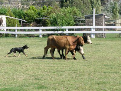 kelpie_cattle_2