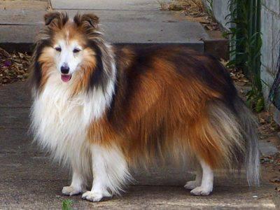 shetland_sheepdog_sable