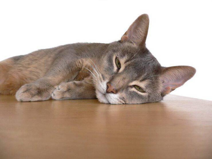malattie comuni gatto abissino