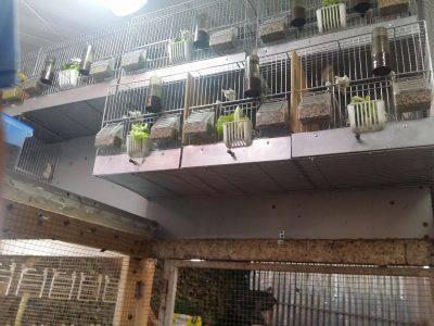 allevamento-abusivo-uccelli
