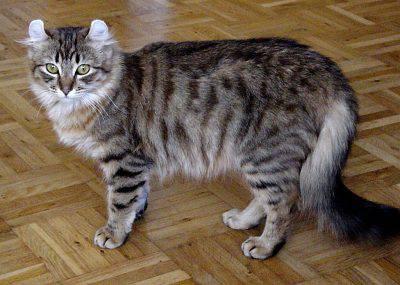 gatto curl longhair