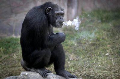 azalea-scimmia
