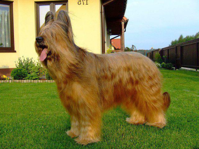cane da pastore di brie
