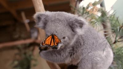 farfalla-koala