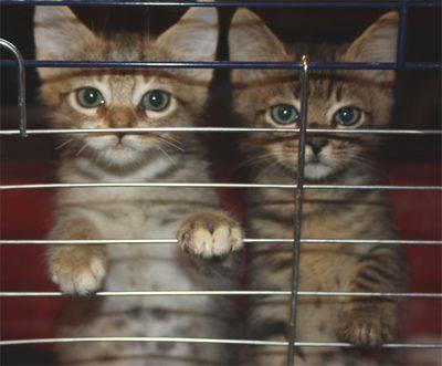 gattini-gabbietta