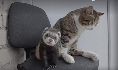 gatto-furetto