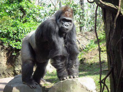gorilla-zoo2