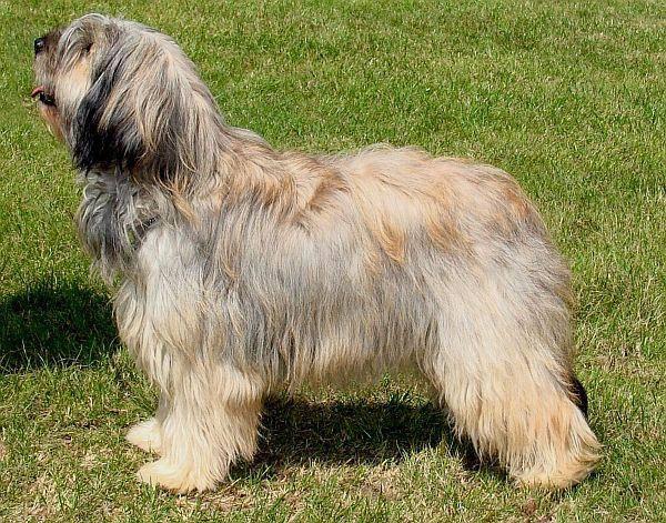 cane da pastore catalano