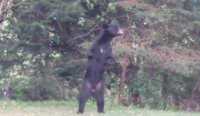 @Facebook/Pedals the Injured Bipedal Bear