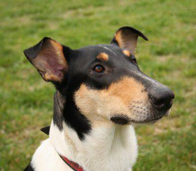smooth-collie-3