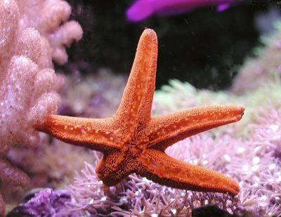 stella-marina-stelle-marine