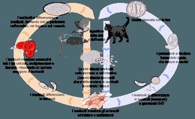 toxoplasmosi-4