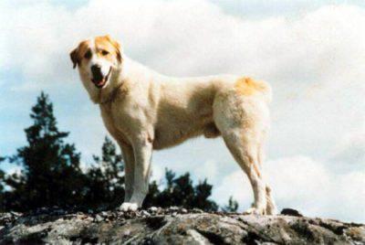 central_asia_shepherd_dog