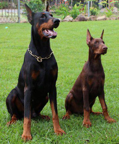 dobermann_father-and-son
