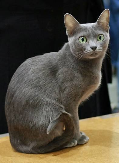 korat_in_cat_show-cropped