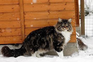 male-mainecoon