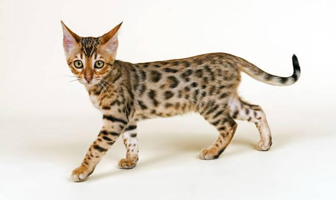 Il Bengala Scheda Completa Di Questa Razza Felina
