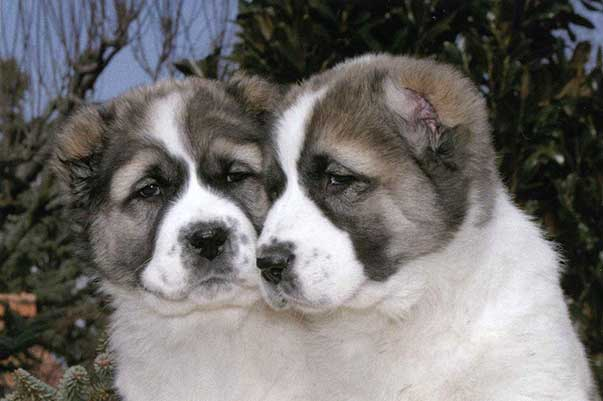 Cane da pastore dell 39 asia centrale scheda completa di razza for Cane da pastore della russia meridionale