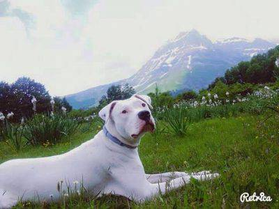 dogo-argentino5