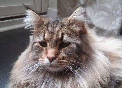 gatto-delle-foreste-norvegesi-2