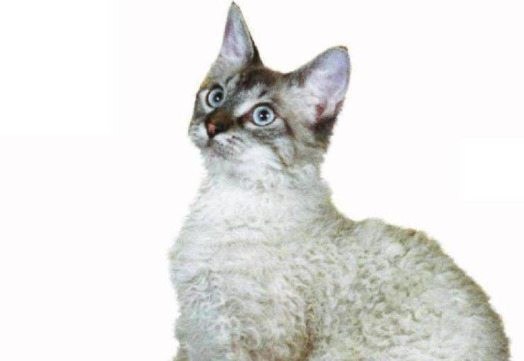 Razzi di gatti con la coda spessa