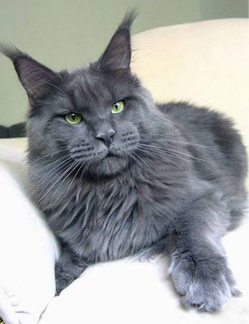 maine-coon-3