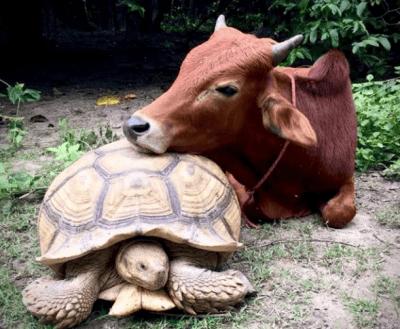 mucca-tartaruga