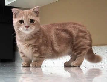 munchkin_cat