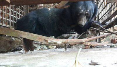 Uno degli orsi salvati - FOTO: Facebook, Animals Asia