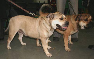 perro-dogo-mallorquin2