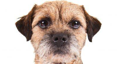 borderterrier_hero