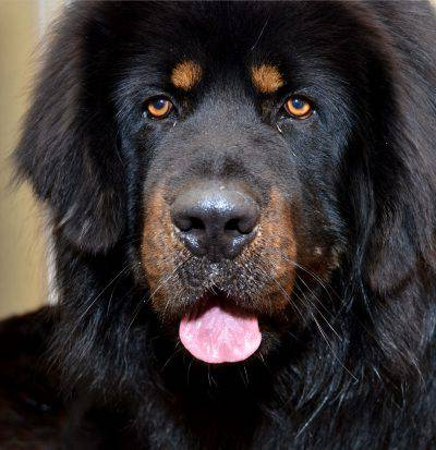 tibetan_mastiff_flickr_8470699761