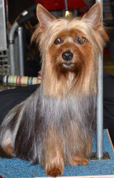 australian-silky-terrier-4