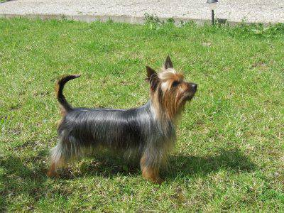 australian-silky-terrier2