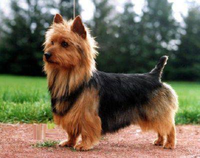 australian-terrier-4